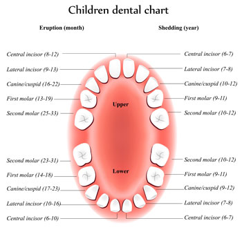 Tooth Eruption Chart - Pediatric Dentist in Bayside, NY